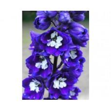 Ostróżka (Delphinium) Magic Fountain Dark Blue White Bee