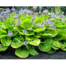 Funkia (Hosta hybrida) Sum and Substance