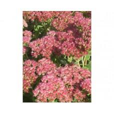 Rozchodnik karpacki (Sedum telephium) Herbstfreude