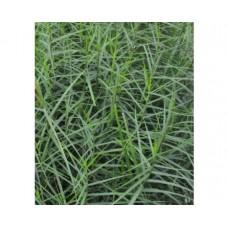 Turzyca muskegońska (Carex muskingumensis) Little Midge