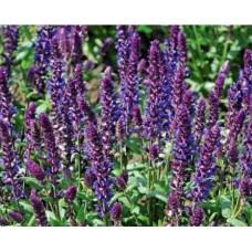 Szałwia wspaniała (Salvia x superba) New Dimensions Blue