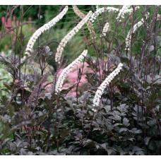 Pluskwica (Świecznica) prosta (Actaea Simplex) Black Negligee
