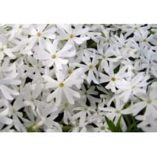 Płomyk/Floks szydlasty (Phlox subulata) White Delight
