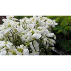 Gęsiówka kaukaska (Arabis caucasica) Aubris White