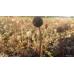 Acena drobnolistna (Acaena microphylla) Kupferteppich