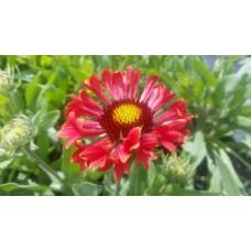 Gailardia wielkokwiatowa (Gaillardia grandiflora) Spintop Red