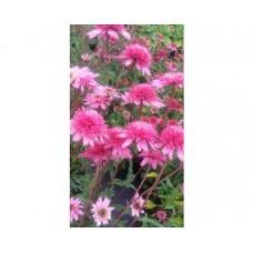 Jeżówka mieszańcowa (Echinacea hybrida) Mini Belle