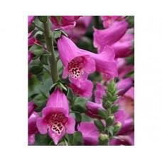 Naparstnica purpurowa (Digitalis purpurea) Dalmatian Purple