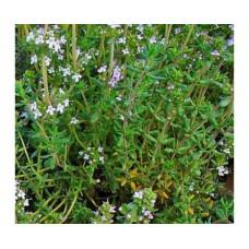 Tymianek cytrynowy (Thymus citriodorus)