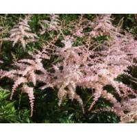 Astilbe simplicifolia (Tawułka pojedynczolistna) Pink Lightning