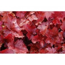 Żurawka (Heuchera hybrida) Fire Chief