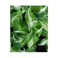 Funkia (Hosta undulata) Mediovariegata