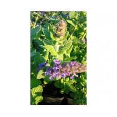 Kocimiętka (Nepeta) Purple Haze