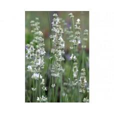 Lawenda wąskolistna (Lavandula angustifolia) Edelweiss