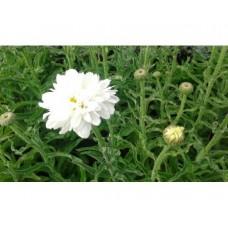 Złocień wspaniały (Leucanthemum x superbum) Victorian Secret