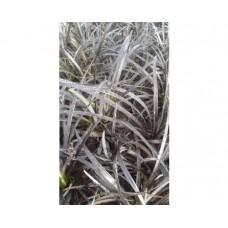 Konwalnik płaskopędowy (Ophiopogon planisc.) Nigrescens