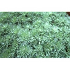 Bylica Schmidta (Artemisia schmidtiana) Nana Attraction