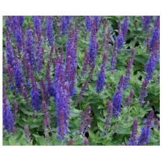Szałwia omszona (Salvia nemorosa) Sensation Compact Deep Blue