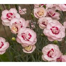Goździk pierzasty (Dianthus plumarius) Angel of Virtue