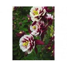 Orlik pospolity (Aguilegia vulgaris) Winky Double Red&White