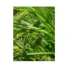 Turzyca (Carex lurida) Aurea