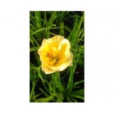 Liliowiec ogrodowy (Hemerocallis hybrida) Stella d'Oro