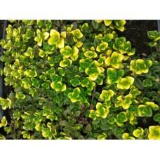 Macierzanka cytrynowa (Thymus x citriodorus) Doone Valley