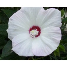 Hibiskus bagienny (Hibiscus x moscheutos) Old Yella