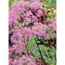 Rutewka orlikolistna (Thalictrum aquilegiifolium) Black Stockings