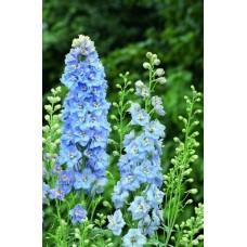 Ostróżka (Delphinium) Magic Fountain Sky Blue White Bee