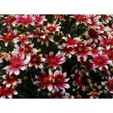 Nachyłek okółkowy (Coreopsis verticilata) Sunstar Rose