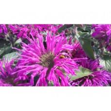 Pysznogłówka dwoista (Monarda didyma) Balmy Lilac
