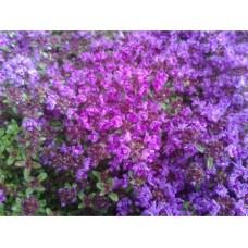 Macierzanka wczesna (Thymus praecox) Red Carpet