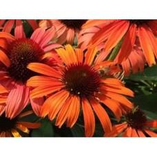 Jeżówka mieszańcowa (Echinacea hybrida) Orange Skipper
