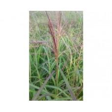 Miskant chiński (Miscanthus sinensis) Rotsilber