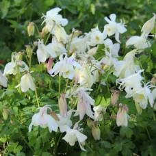 Orlik błękitny (Aquilegia caerulea)  Spring Magic White