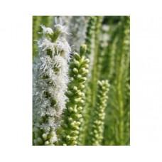 Liatria kłosowa (Liatris spicata) Alba
