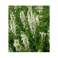 Szałwia omszona (Salvia nemorosa) Sensation Compact White