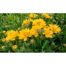 Nachyłek wielkokwiatowy (Coreopsis grandiflora) Presto