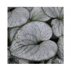 Brunnera wielkolistna (Brunnera macrophylla) Silver Heart