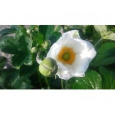 Zawilec mieszańcowy (Anemone hybrida) Andrea Atkinson