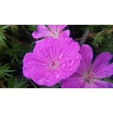 Bodziszek czerwony (Geranium sanguineum) Vision Violet