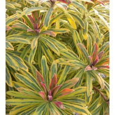 Wilczomlecz (Euphorbia x martinii) Ascot Rainbow