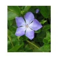 Barwinek większy (Vinca major) Deep Blue