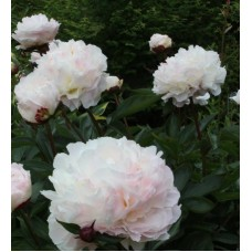 Piwonia chińska (Paeonia lactiflora) Shirley Temple