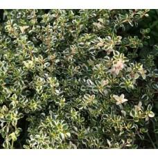 Macierzanka zwyczajna (Thymus pulegioides) Foxley