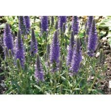 Przetacznik kłosowy (Veronica spicata) Inspire Blue