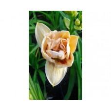 Liliowiec ogrodowy (Hemerocallis hybrida) Little Miss Manners