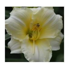 Liliowiec ogrodowy (Hemerocallis hybrida) Longfields Pearl