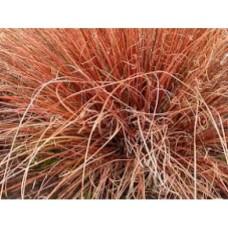 Turzyca Buchanana (Carex buchananii) Red Rooster